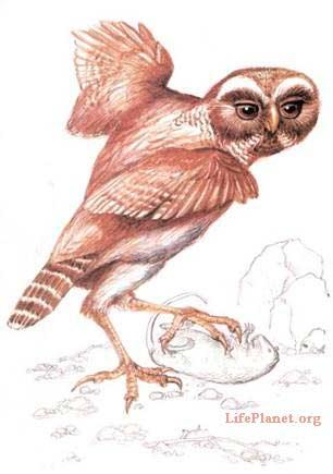 Орнимегалоникс: реконструкция внешнего  облика вымершей гигантской совы.