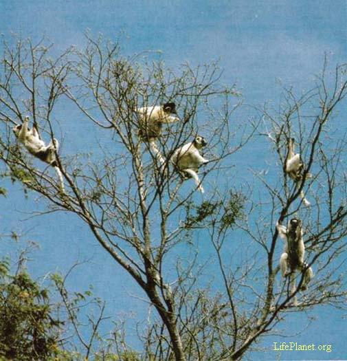 Хохлатые индри (Propithecus)