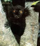 У самца чёрного лемура (Lemur macaco) огромные глаза, характерные для ночных животных. Во время дневной жары он укрывается среди ветвей.