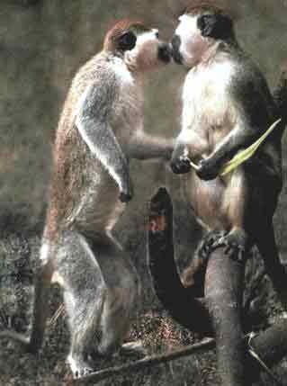 Мартышки с любопытством изучают друг друга, встав на задние конечности.