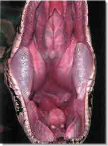 Сетчатый питон может запросто проглотить небольшого оленя