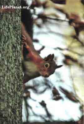 Белки одинаково легко перемещаются вверх и вниз по деревьям
