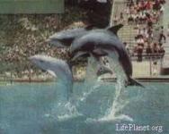 Групповой прыжок афалии, совершаемый по команде. Калифорнийский океанариум.