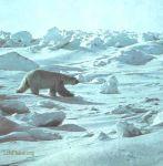 Белый медведь среди льдов.