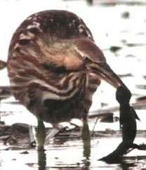 Тритоны - желанная добыча для птиц