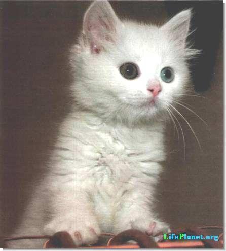 Турецкий ван - особая порода кошек