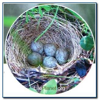 Гнездо овсянки-крошки