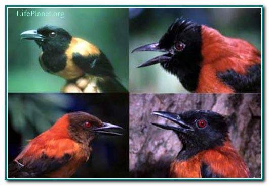 Хохлатый питахоу — ядовитая птица Новой Гвинеи.