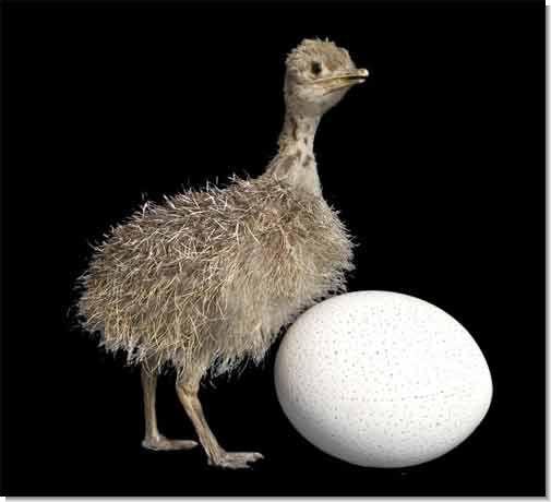 (На фото - птенец и яйцо страуса)