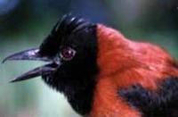 <b>Хохлатый питахоу</b> — самый ядовитый из всех пернатых жителей Новой Гвинеи, а может быть, и всей планеты.