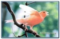 КРАСНАЯ ДЕКОРАТИВНАЯ КАНАРЕЙКА. Специалисты насчитывают около 150 видов окраски кенаров. Эта эффектная птичка похожа на светящийся китайский фонарик, но по сложности и красоте вокала она уступает своим сородичам.