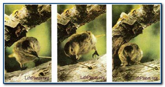 Дятловый вьюрок (Cactospiza pallida) с помощью веточки или колючки кактуса выковыривает насекомых из отверстий в древесине, в которые не может проникнуть своим коротким клювом. Сначала он продалбливает и сдирает кору, вскрывая ходы насекомого. Обычно они слишком глубоки для клюва птицы, поэтому вьюрок пытается достать добычу орудием.