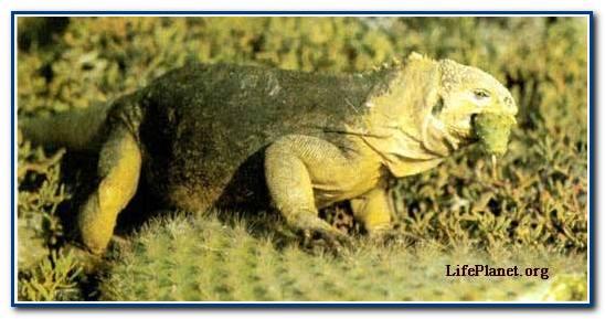 Крупная (длиной более 1 м) галапагосская игуана конолоф (Conolophus subcristatus) пережевывает кактус; колючки кактуса не повреждают её пищевод.