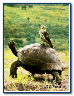 Галапагосский канюк оседлал громадную слоновую черепаху (Testudo elephantopus). Канюк не представляет для черепахи никакой опасности. Птица охотится за другими рептилиями — игуанами и ящерицами, которые составляют основную часть её рациона.