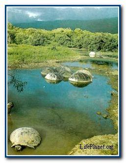 Существует мнение, что некоторые из наиболее крупных галапагосских черепах погружаются в воду или зарываются в ил, чтобы охладиться. Черепахи поменьше обычно обитают в сухих местах, а крупные — в местах с водой. Поскольку у крупной черепахи с большим выпуклым панцирем отношение поверхности тела к объему меньше, чем у мелкой черепахи, ее теплоотдача затруднена, а искусственное охлаждение, по-видимому, компенсирует уменьшенную теплоотдачу поверхности тела крупных черепах.
