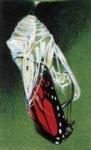 Из куколки выходит взрослая бабочка.