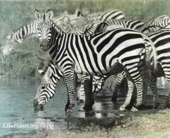 Зебры на водопое