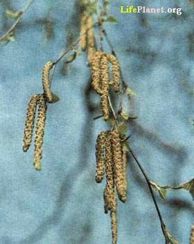 Серёжки   (соцветия)  берёзы.
