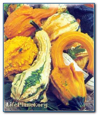 Крукнек, или кривошейка - разновидность твёрдокорой тыквы.