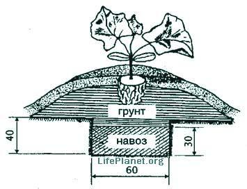 Схема посадки кабачка на утепленный грунт