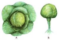 Белокочанная капуста: А — общий вид; Б — кочан