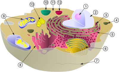 Типичная клетка-эукариот и её органеллы.
