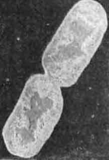 Бактерия кишечная палочка в процессе деления