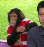 Шимпанзе под наблюдением учёных.