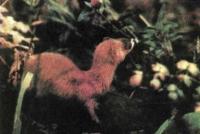 Виртуозно читают запахи представители семейства куньих, например <b>колонок</b>. Едва уловимые следы пахучих ферментов рассказывают ему о врагах, добыче и границах соседей.