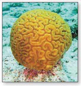 У коралла мозговика платигира узорчатая (platygyra daedales) цепочки полипов похожи на извилины коры мозга млекопитающих.