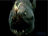 Глубоководный морской чёрт