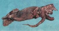 Чешуйчатый кальмар